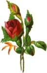 rose-two-buds