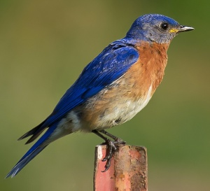 Eastern_Bluebird__photograph
