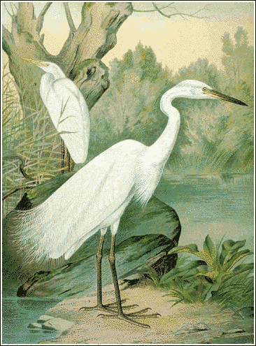 Great_White_Egret