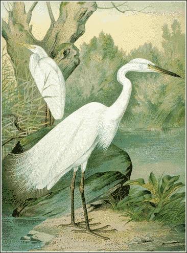 Great_White_Egret