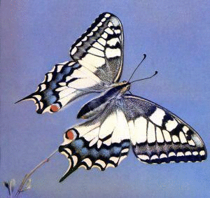 Common_Swallowtail