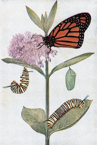 monarch-butterfly-3