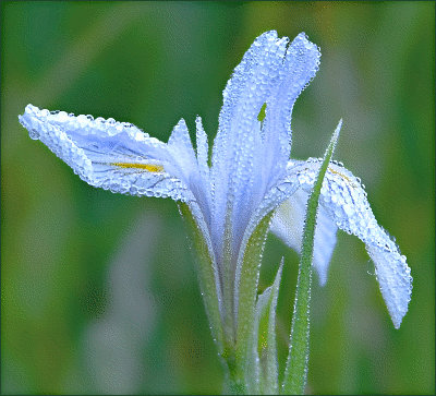 dew_on_orchid