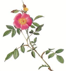 Pasture_Rose