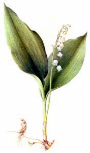 Lily_of_the_Valley_2
