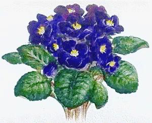 African_violet