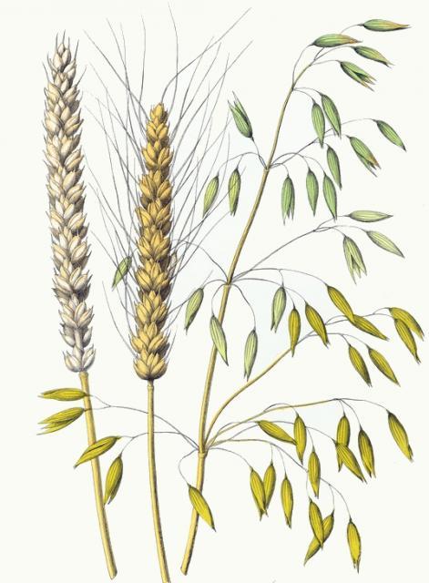 wheat-sativum-oats