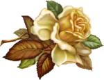 beautiful_rose