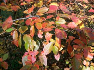 Cotoneaster 001