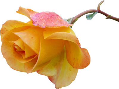 yellow_rose