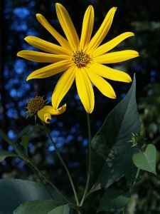 Woodland_Sunflower__Helianthus_divaricatus_800