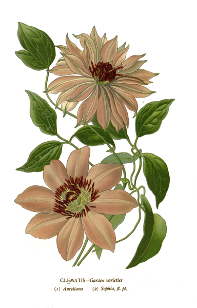 clematis-flower-plate