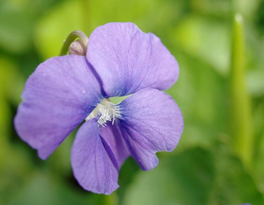 wild_violet_large